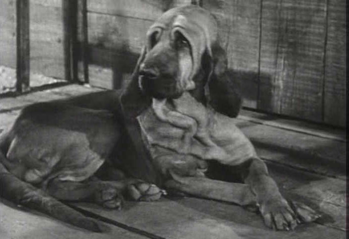 Bloodhounds are often cast in movies for comic effect, like porch-potato Duke in The Beverly Hillbillies.
